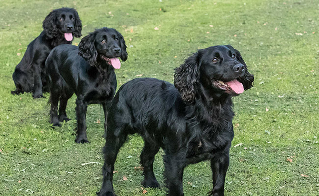 Brockwell Gundogs dog image